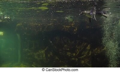 penguins swimming underwater - Highly adapted for life in...