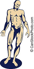 male human anatomy standing with arms on side