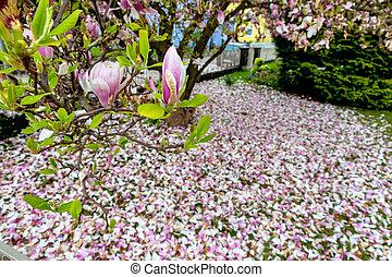 magnolia, flor, en, primavera,