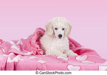 mignon, blanc, caniche, délassant, sous, couverture,