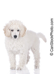 Cute white poodle standing - Cute white poodle puppy...