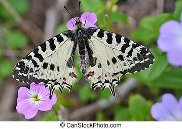 Eastern Festoon butterfly on a flower - Allancastria...