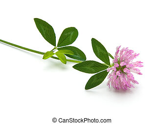 Red Clover (Trifolium pratense) isolated on white...