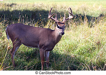 White Tailed Deer - A male white tailed deer in a field.