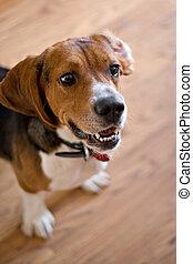 Purebred, beagle, cão