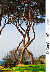 Maritime Pine tree twisted group. Baratti, Tuscany. -...