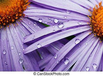 beautiful purple daisy flowers - two beautifu purple daisy...