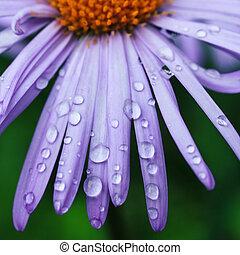 waterdrops  - water drops on a purple daisy flower