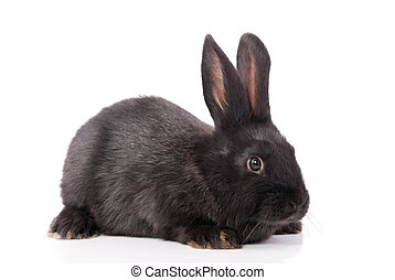 Black rabbit on a white background.