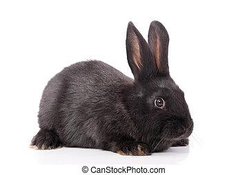 pretas, coelho, ligado, Um, branca, experiência.,
