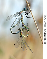Two dragonflies Lestes on a blade of grass in the process of...
