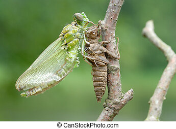 Birth of a dragonfly (series 5 photos) - A series of 5...