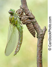 Birth of a dragonfly series 5 photos - A series of 5...