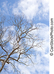 Branch of dead tree - Dead tree without leaves on sky...