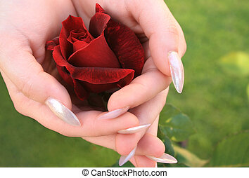 Red rose in hands