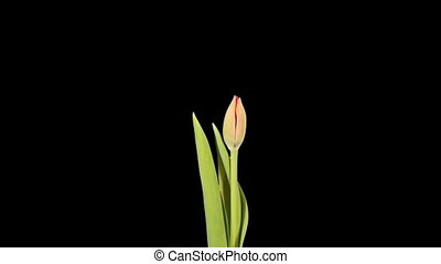 Red tulip bloom buds ALPHA matte, FULL HD Tulipa Madison...