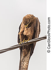 Black Kite aka Amora - Black Kite, a medium sized bird of...