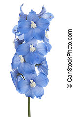 delphinium - Studio Shot of Blue Colored Delphinium Flower...