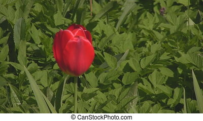 Red tulip blowing in the wind