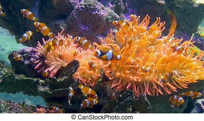 aquarium, clown fishes - tropical marine fish with vertical...