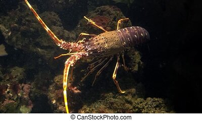 lobsters have long bodies with muscular tails, and live in...