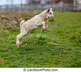 Baby goat jumping - Adorable baby goat jumping around on a...
