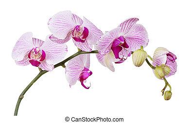 branca, orquídea,