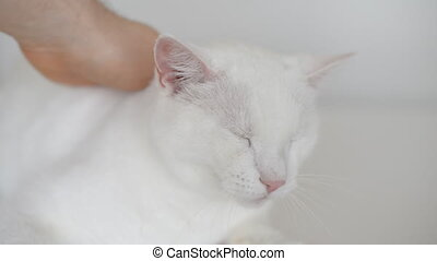 Hand stroking head of white cat