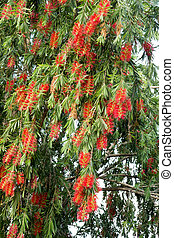 Weeping Bottle Brush flower