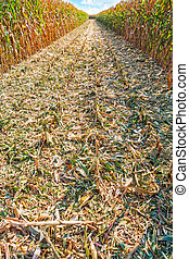 on field of corn in harvesting agricultural concept