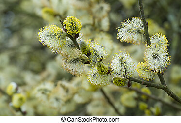 springtime catkins on willow tree