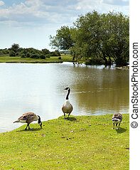 New Forest geese by lake Hampshire - New Forest wildlife by...