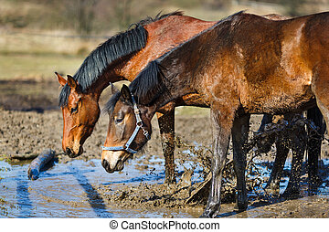 Horses in a puddle - Dirty horses in a puddle at spring time