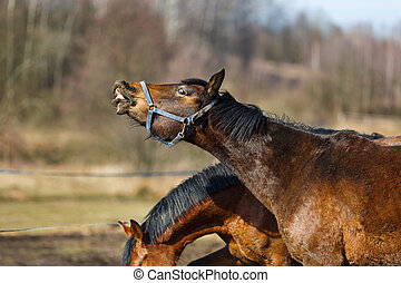 Sniffing horse - Sniffing dirty horse on the meadow at...