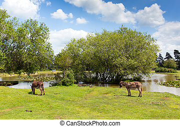 New Forest donkies by a lake summer - New Forest donkies by...