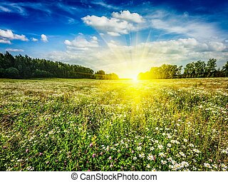 Summer blooming meadow field - Summer blooming green field...