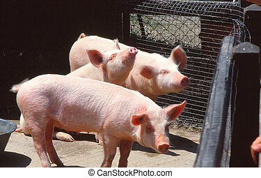 3 little pigs - 3 domesticated pigs in a pen. The domestic...