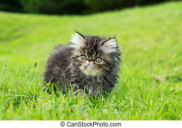Persian cat - Little persian kitty wandering in the grass