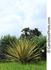 agave, sisalana, Perr.,