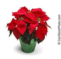 Poinsettia - Christmas Poinsettia Plant Isolated on White...