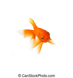 Goldfish - A Goldfish isolated on white background Taken in...