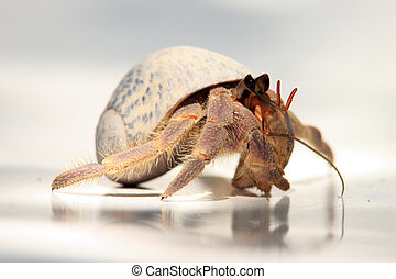 Hermit Crab - A Hermit Crab walking on a beach chair in the...