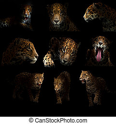 jaguar ( panthera onca ) in the dark night
