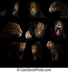 onça pintada, (, Panthera, onca, ), em, a, dark, ,