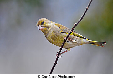 Greenfinch - Photo of greenfinch standing on a twig