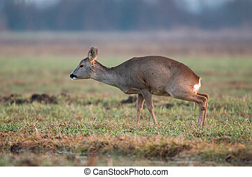 Roe deer peeing - Photo of peeing roe deer in a field