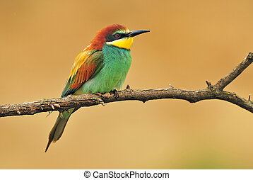 European bee eater standing on a twig with yellow background