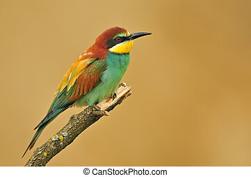 European bee eater standing on top of a twig