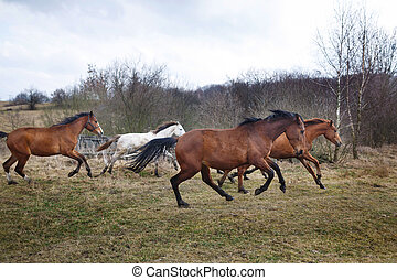 Running horses - Herd of running horses on the dirty meadow...