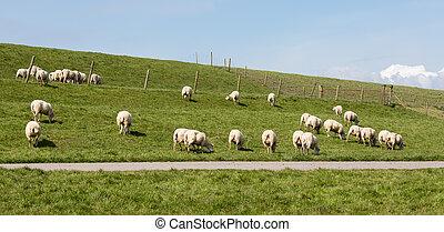 Flock of sheep grazing along a Dutch dike - Herd of sheep...